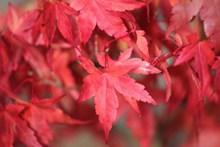 火红色枫树叶摄影图片大全