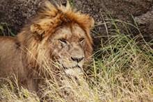 草丛大狮子精美图片