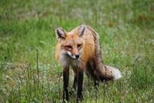 一只长尾狐狸图片大全