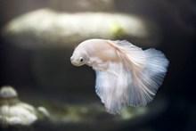 白色观赏鱼图片