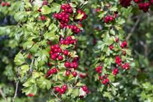 树枝上的红浆果图片素材