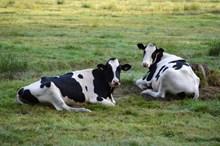 草地两只黑白奶牛精美图片