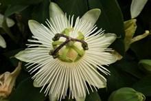 白色百香果花图片