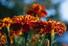 万寿菊花朵开放图片素材