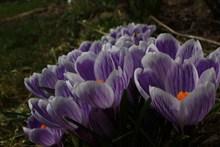 紫色番红花绽放图片