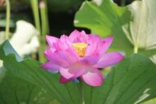 荷花花朵绽放精美图片