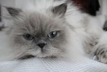 喜马拉雅萌猫高清图