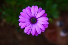 紫色菊花花朵摄影图片素材