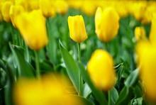 盛开的黄郁金香图片素材