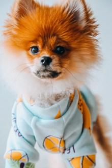 漂亮博美犬精美图片