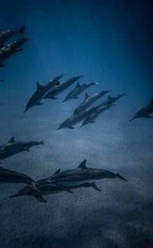一群海豚水中游泳高清图