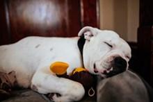 斗牛犬睡觉图片素材