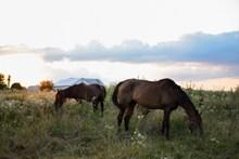 野生马吃草高清图片