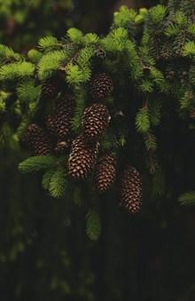 郁郁葱葱的冷杉球果图片素材
