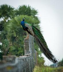 站在石头上的孔雀精美图片