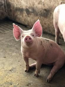 坐在猪圈里的猪精美图片