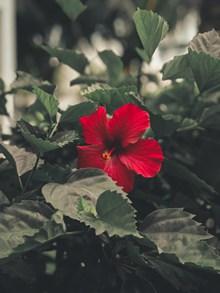 红色朱槿花图片