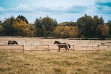 围场里的棕色马高清图