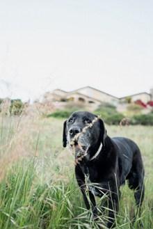 黑色家犬精美图片