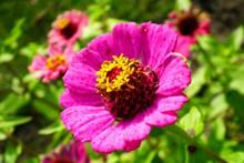百日草花朵灿烂高清图片
