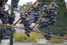 黑加仑葡萄串图片