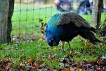 蓝色孔雀观赏图片下载