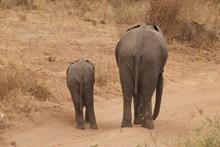 荒野大象小象行走图片