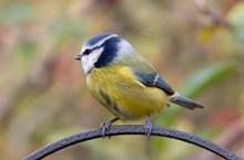 黄色鸟雀图片素材