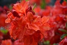 映山红鲜花摄影图片大全