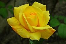 黄色玫瑰盛开精美图片