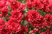 红色鲜花盛开高清图片