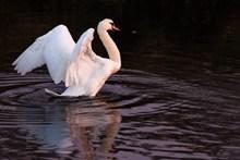 湖面白鹅展翅图片下载