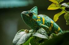 青绿色变色龙图片素材