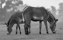 条纹斑马黑白图片素材