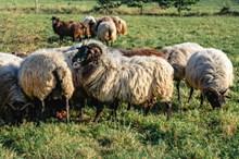 放牧羊群放牧图片素材