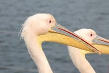 大嘴鸟头部特写图片素材
