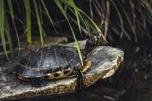 石头上的小乌龟高清图片