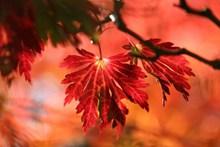 秋天红色叶子图片下载