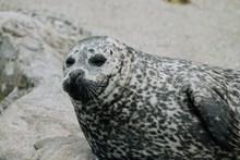 可爱斑点海豹图片大全
