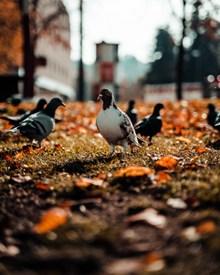 草地上漫步的鸽子图片