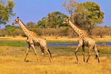 草原上野生长颈鹿精美图片