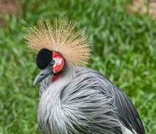 漂亮的灰冠鹤图片大全