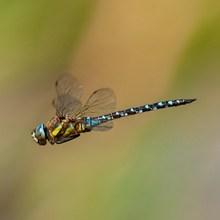 蜻蜓空中飞翔图片大全