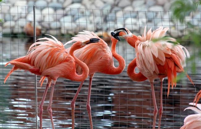 粉红色的火烈鸟图片大全