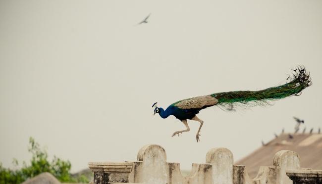 蓝孔雀飞行图片