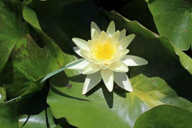 白色睡莲花朵图片