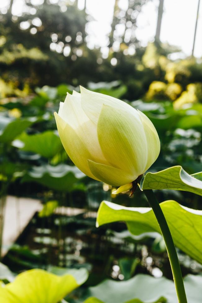 含苞待放白色荷花精美图片