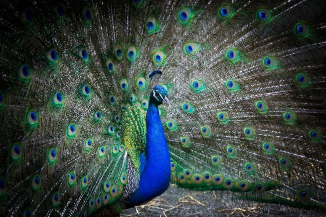 蓝孔雀开屏观赏图片大全