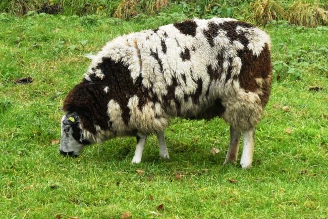 绵羊低头吃草图片下载