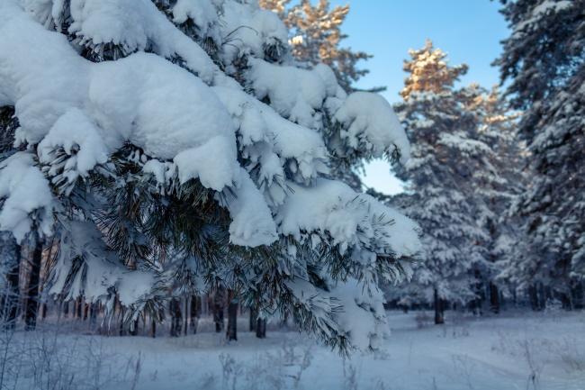 冬季森林雪松雪景图片下载